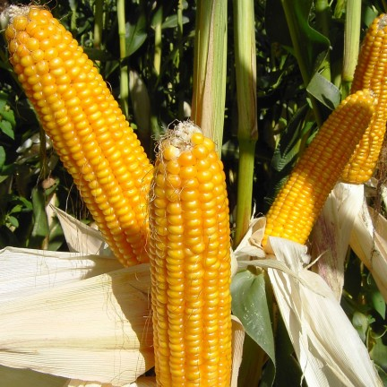 Commodity Outlook – Maize