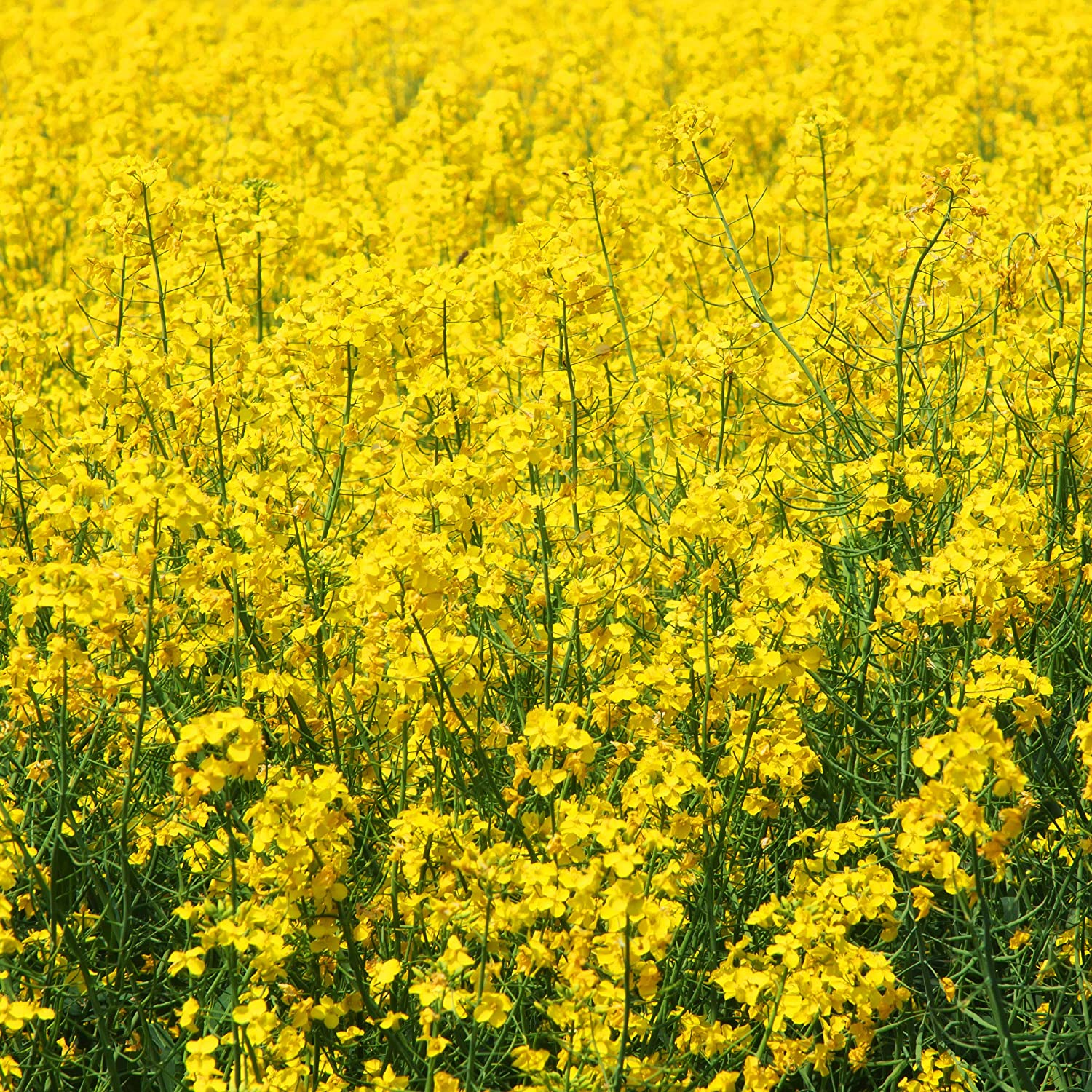 Commodity Outlook – Mustard Seed