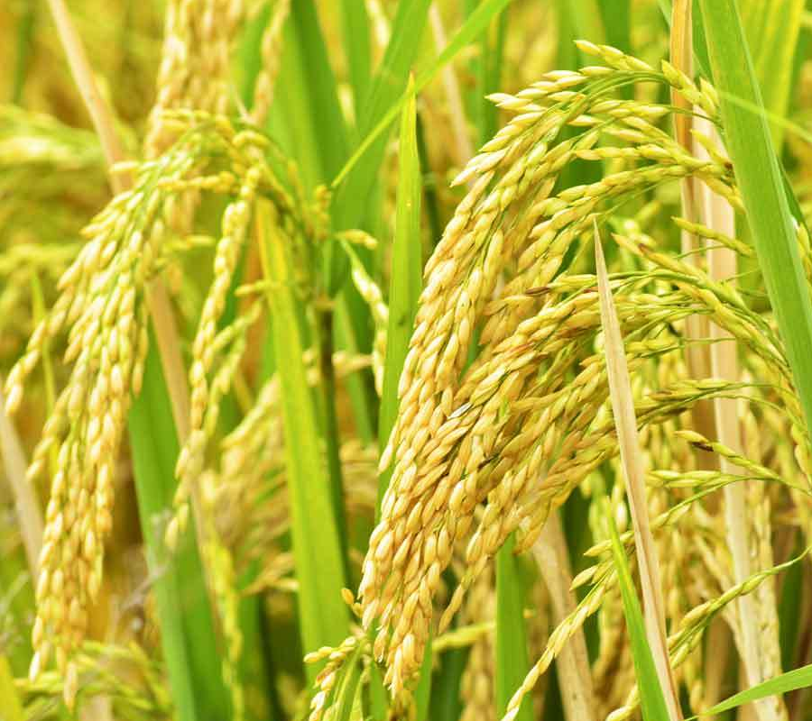 Commodity Outlook - Paddy
