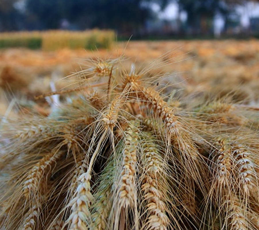 Commodity Outlook – Wheat