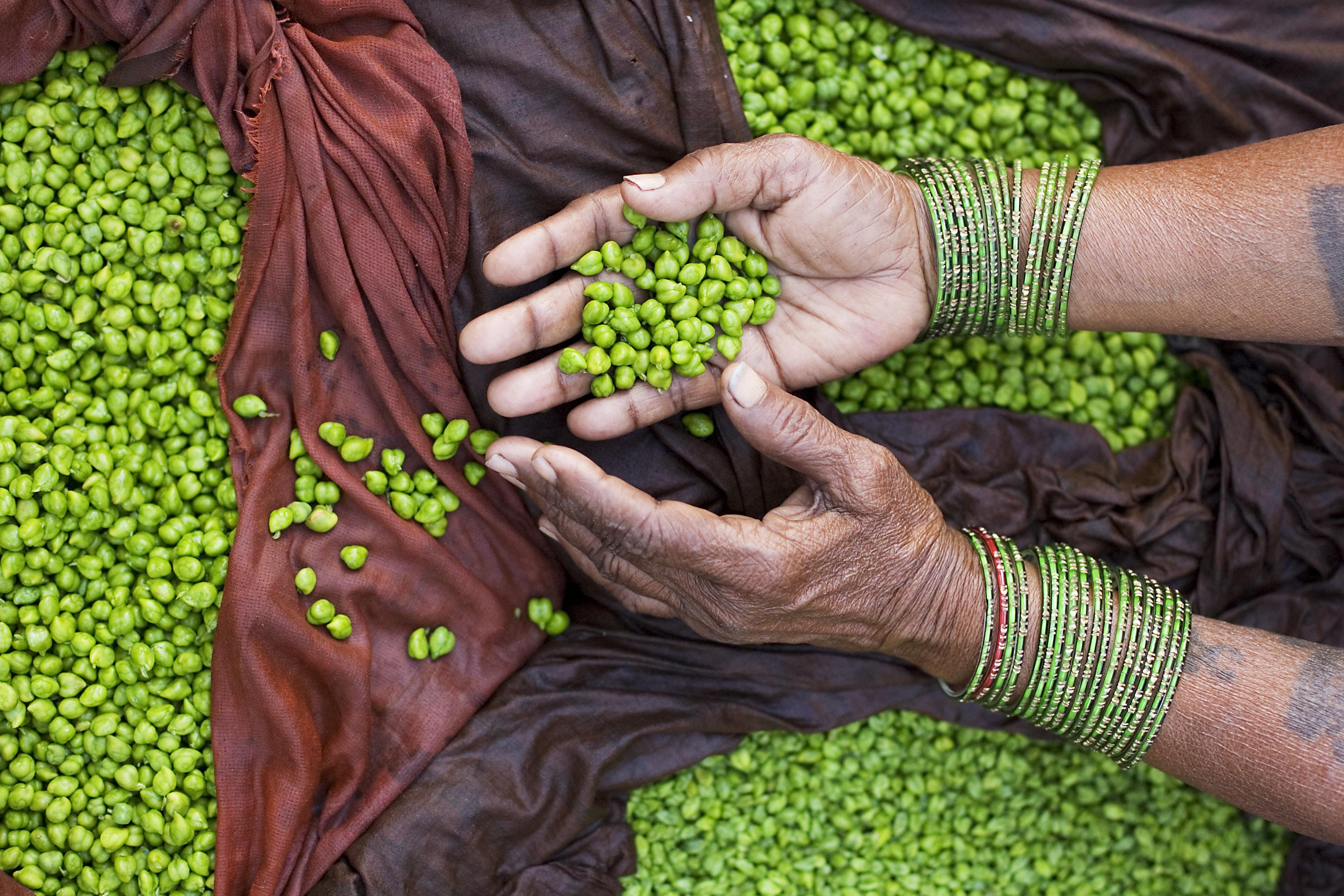 Bengal gram: Rabi harvesting season