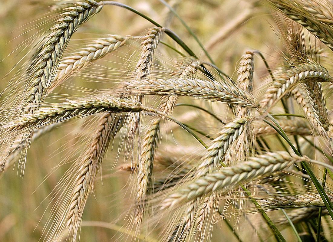Barley: Rabi harvesting season