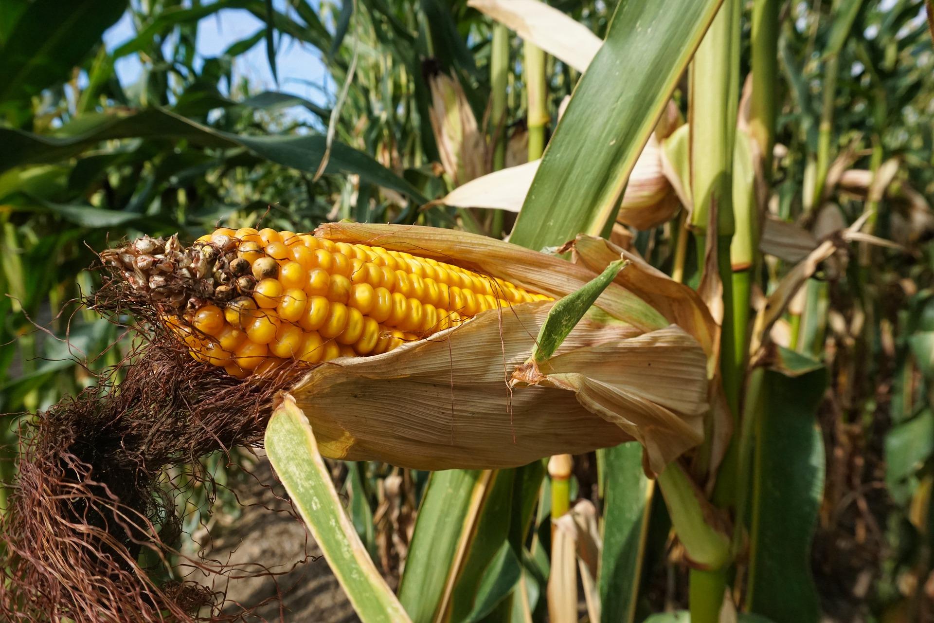 Maize: Kharif season