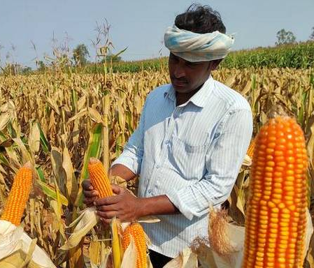 Maize: Overview and Health Guide